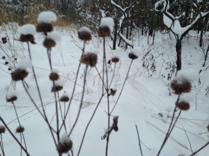 Last years snow covered Queen Ann's Lace