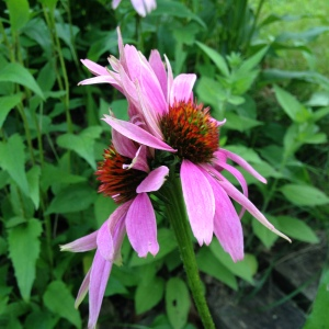 Conjoined Purple Cone Flowers - God doesn't make mistakes